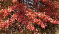 Pin oak in fall. Photo by Jane Balaban.