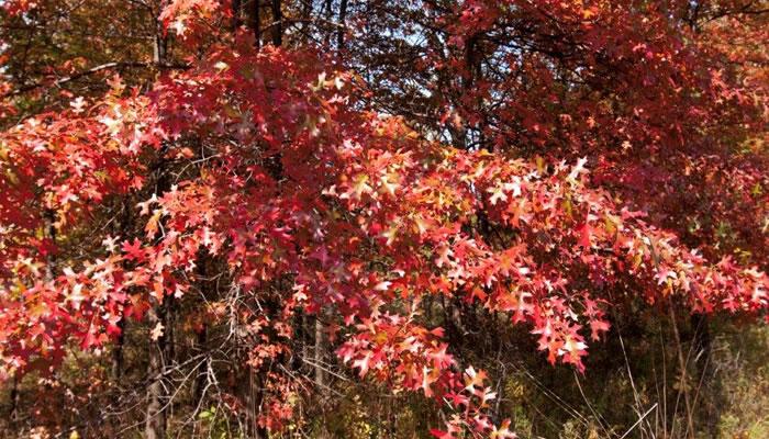 Pin oak in fall. Photo by Jane Balaban.