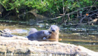 three North American river otters.