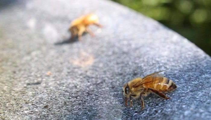 Two honey bees. Photo by Jerry Attere.