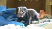 baby skunk