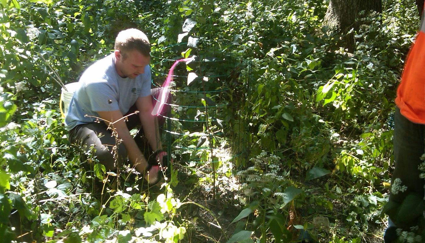a person planting a shadbush shrub in a protective cage