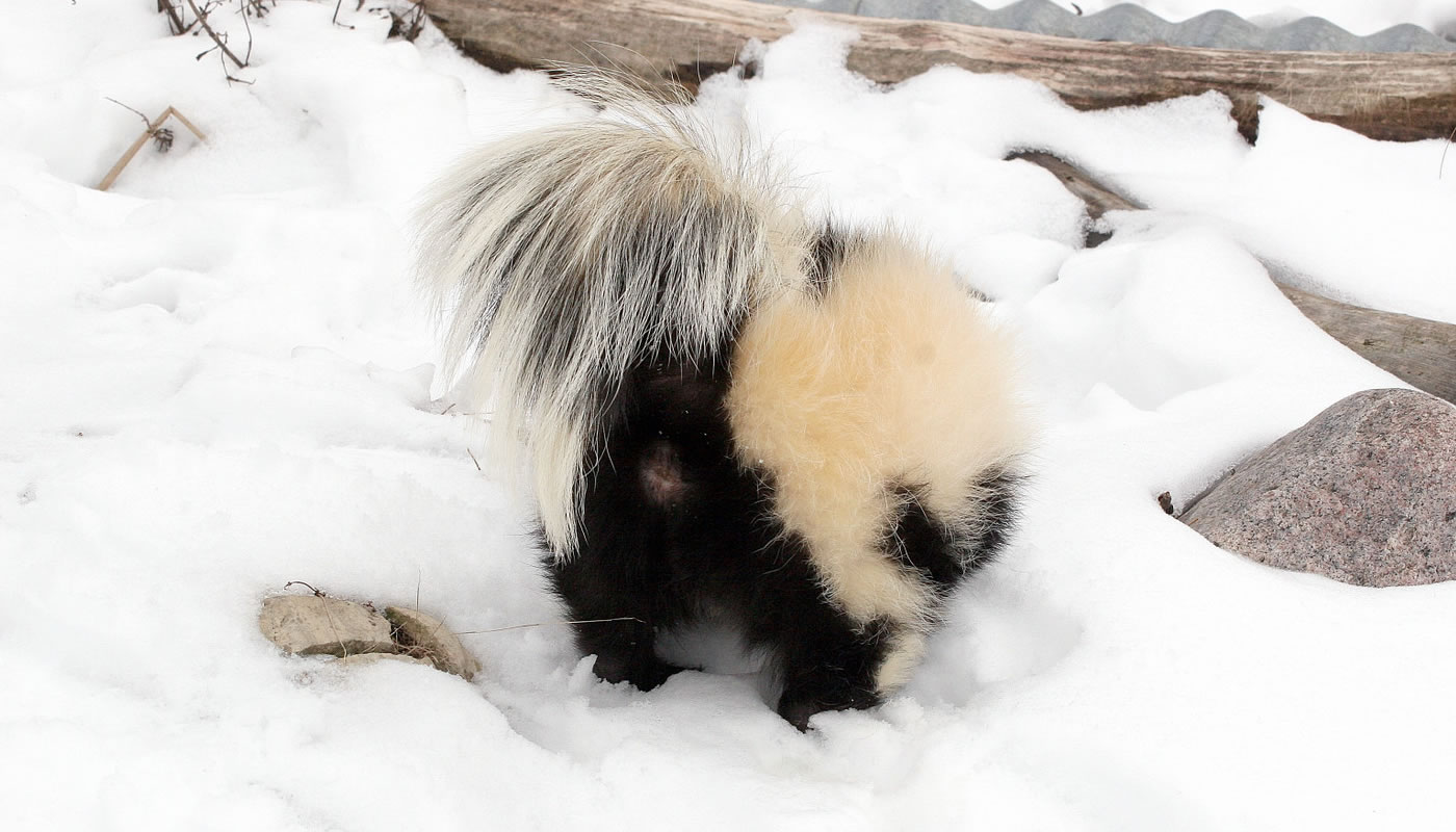 a skunk about to spray