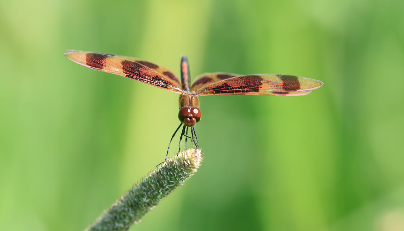 Halloween pennant dragonfly at Wampum Lake. Photo by Jim Phillips.