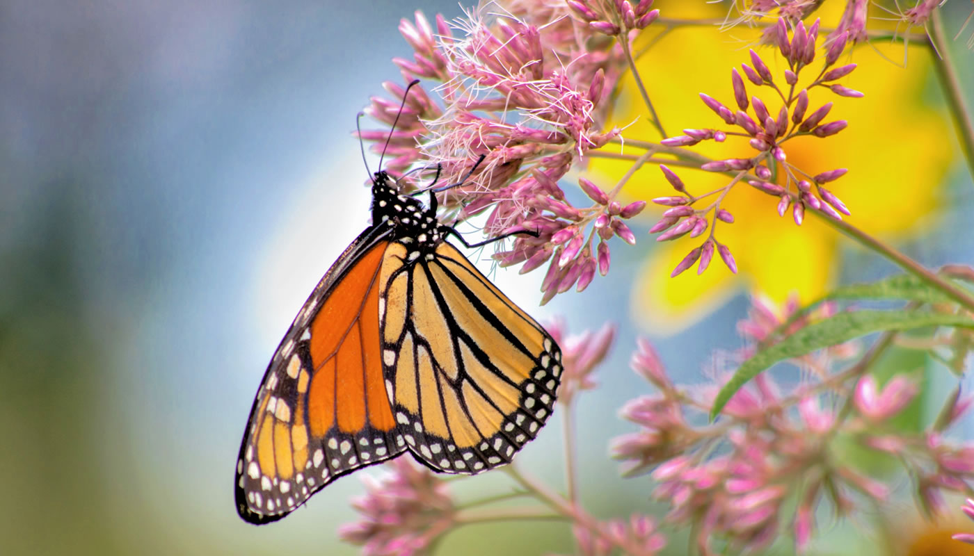 Monarch butterfly feeding on joe pye weed at Wolf Road Prairie. Photo by Fidencio Marbella.