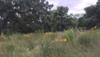 prairie with oak trees in the background at Beaubien Woods