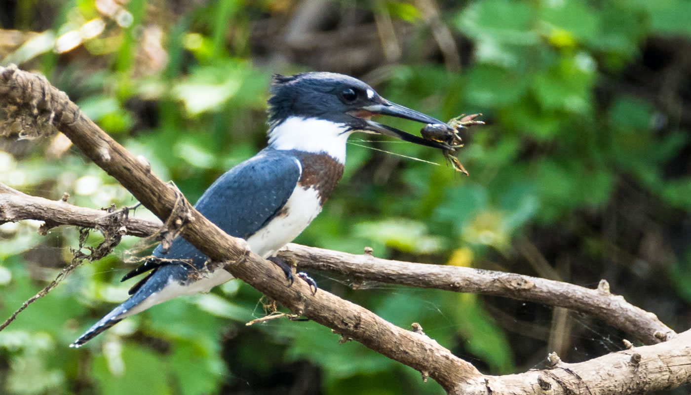 belted kingfisher at Big Bend Lake