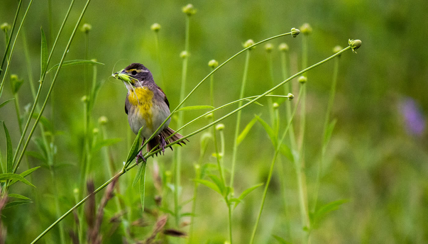 female dickcissel eating an insect at Bartel Grassland