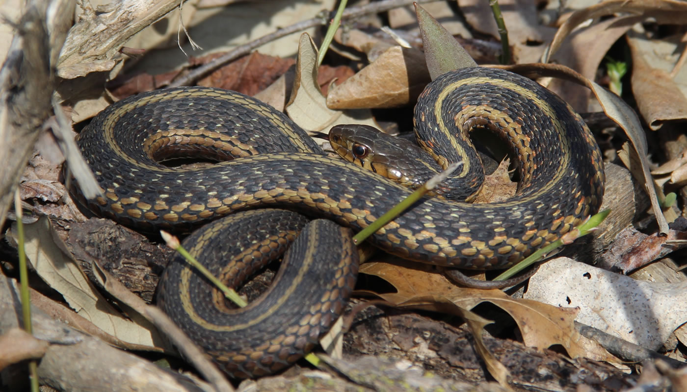 Garter snake at Forest Glen Woods.