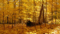sugar maples with bright yellow leaves at Lake Avenue Woods-East