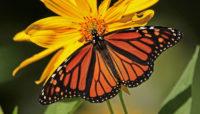 monarch butterfly feeding on a sunflower