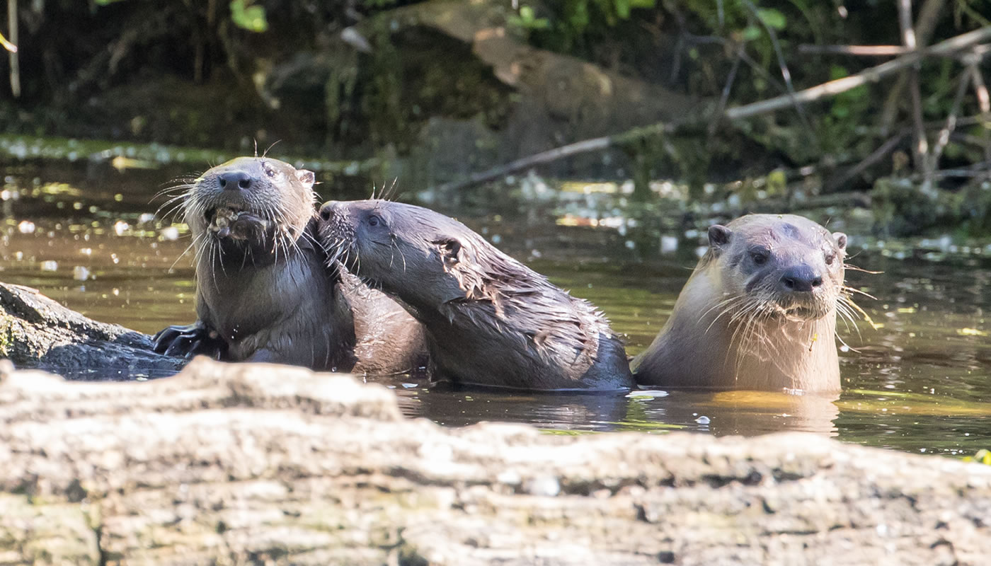 three North American river otters in a pond