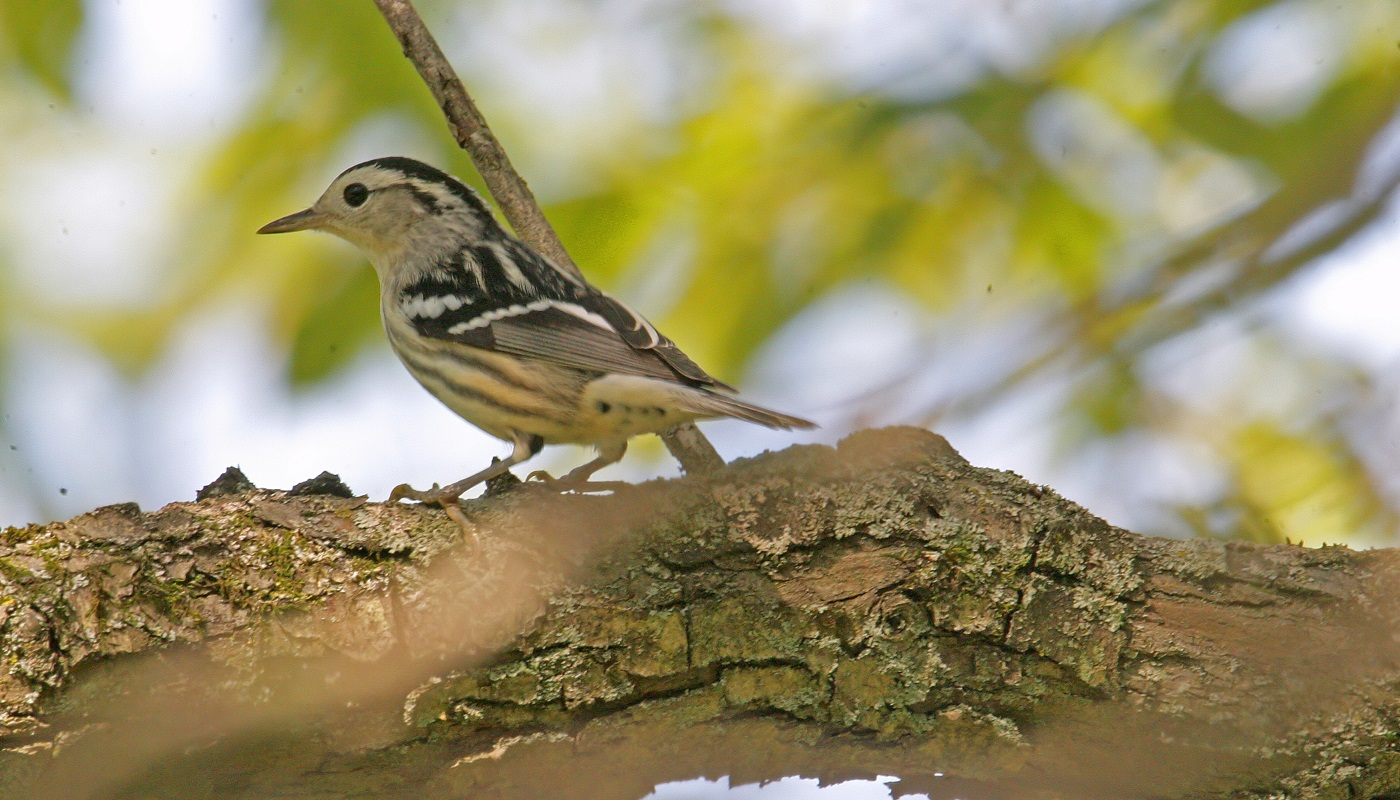 A black and white warbler.