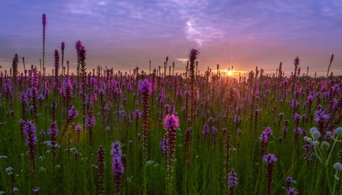 blazing star flowers in bloom at Bartel Grassland. Photo by Erin Soto.