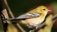 blackpoll warbler at McClaughrey Springs Woods