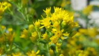 close up of goldenrod flowers