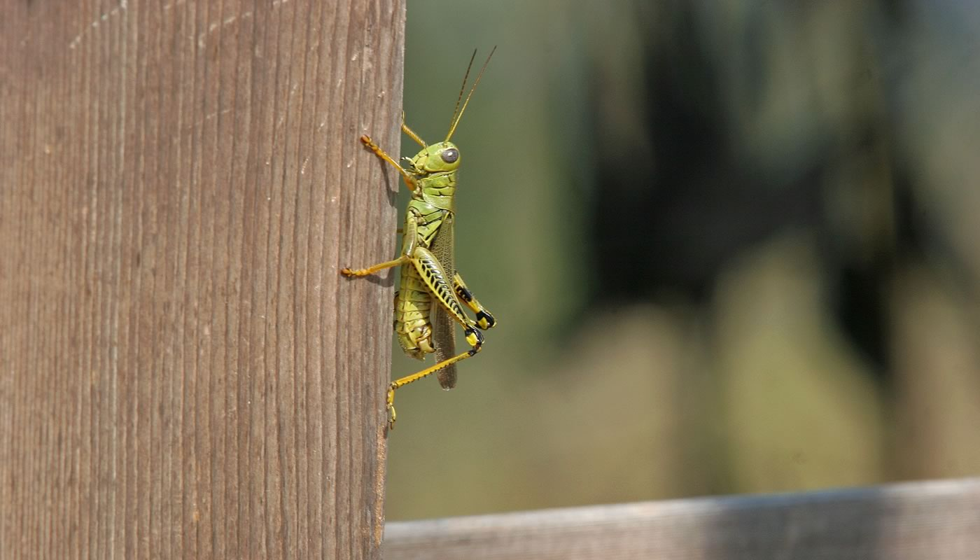 grasshopper on a fence post