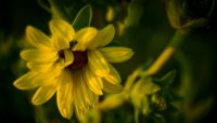 Close up image of Silphium plant at Deer Grove-East