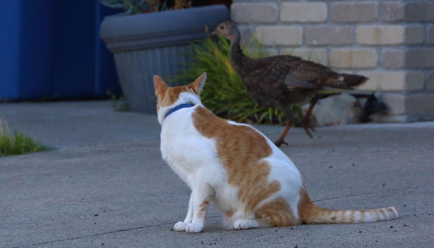 a cat stalking a wild turkey