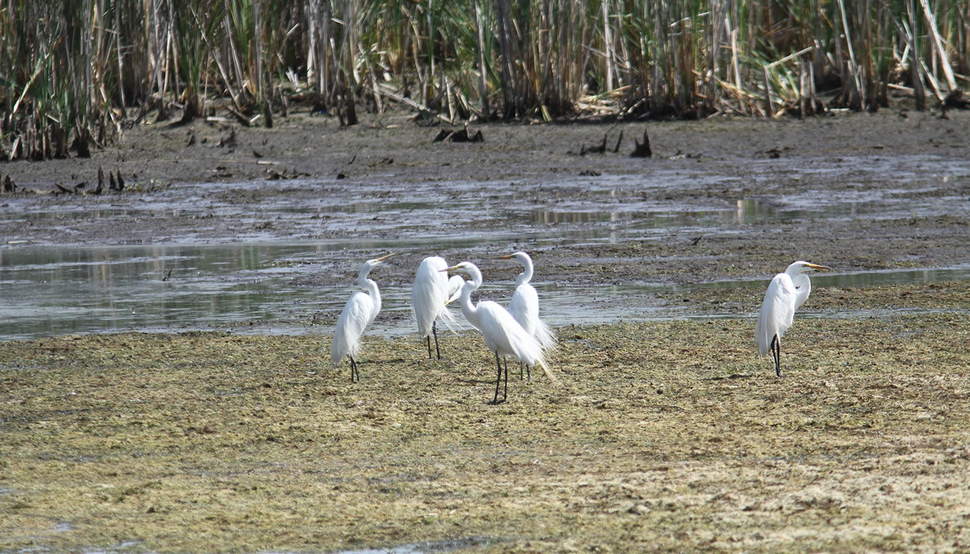 great egrets on the mud flats at McGinnis Slough