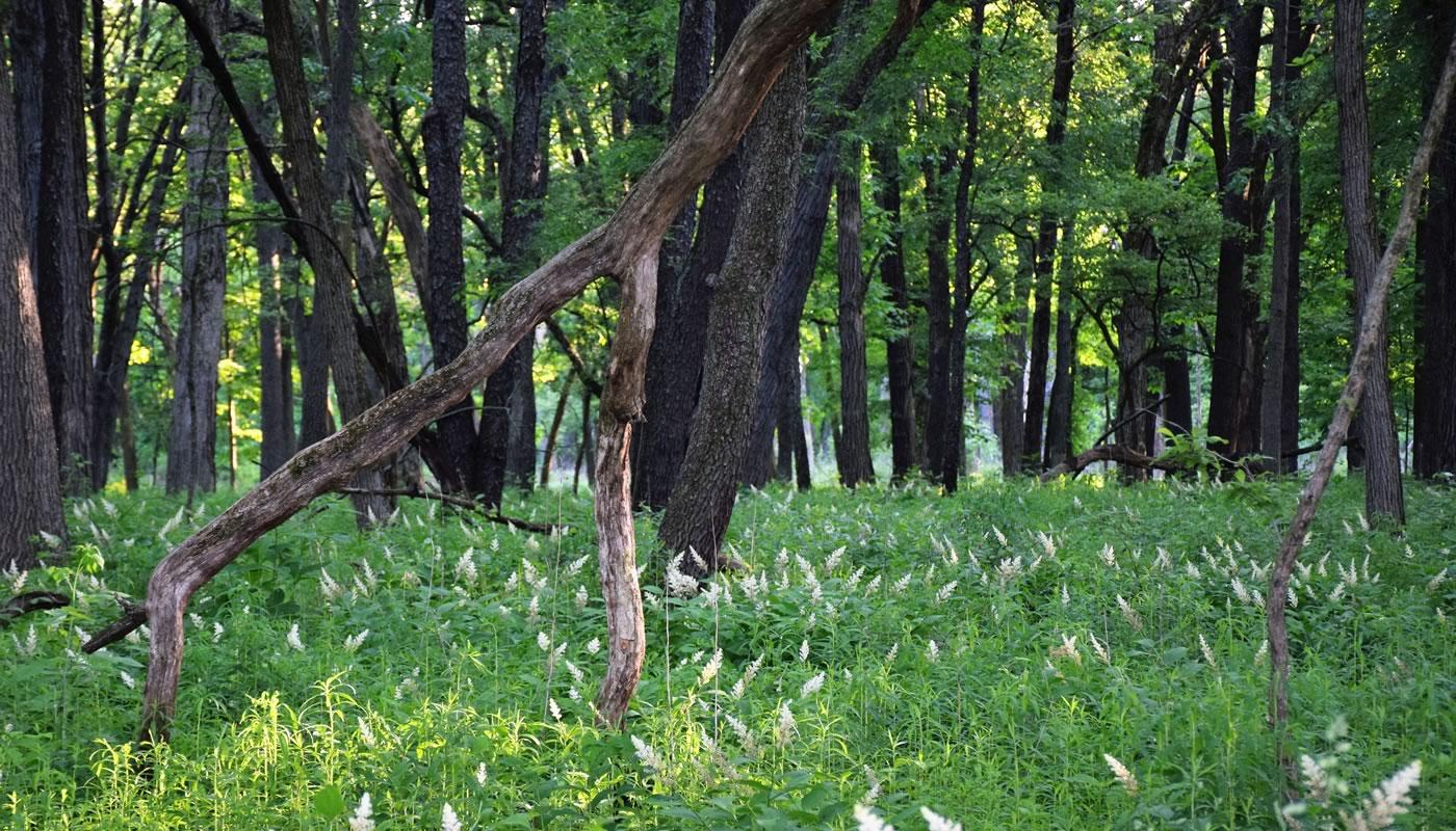 open woodland at Salt Creek Woods Nature Preserve