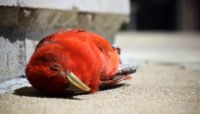 dead summer tanager on the sidewalk
