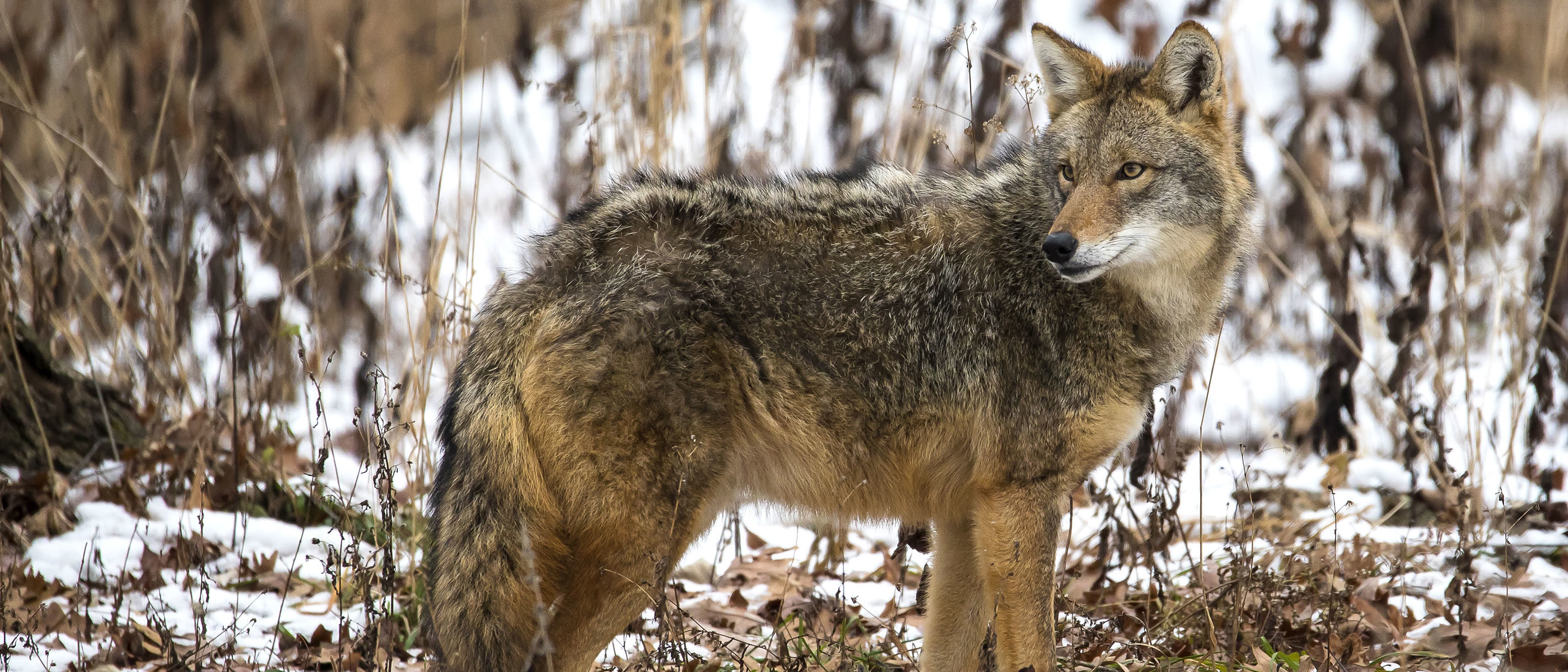 A coyote at Yankee Woods.