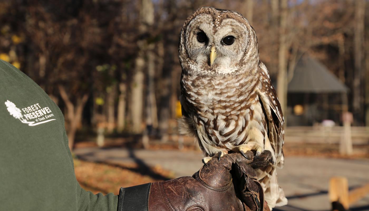 A Forest Preserves staff member holding River Trail Nature Center's ambassador barred owl