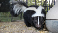 River Trail Nature Center's skunk ambassador