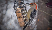 red-bellied woodpecker at a feeder at Trailside Museum