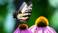 Eastern tiger swallowtail butterfly on a purple coneflower at Chicago Botanic Garden.