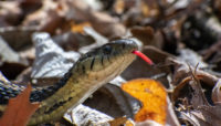 a garter snake at Salt Creek Nature Preserve