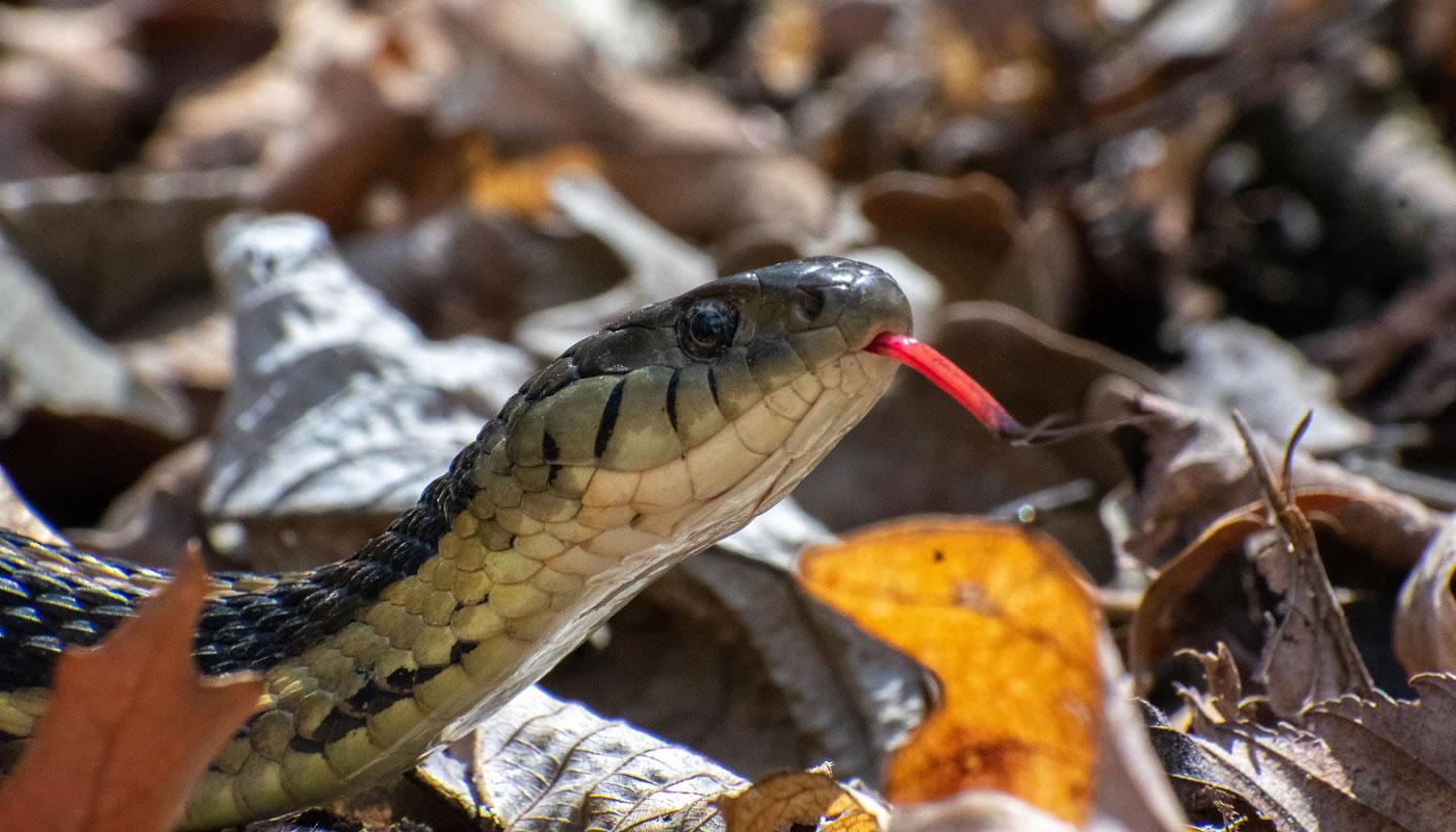 a garter snake at Salt Creek Nature Preserve