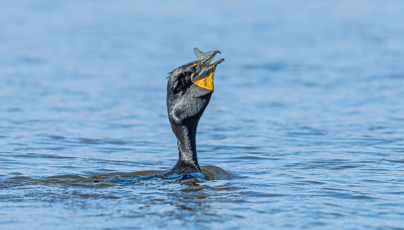 a double crested cormorant eating a fish on Busse Reservoir