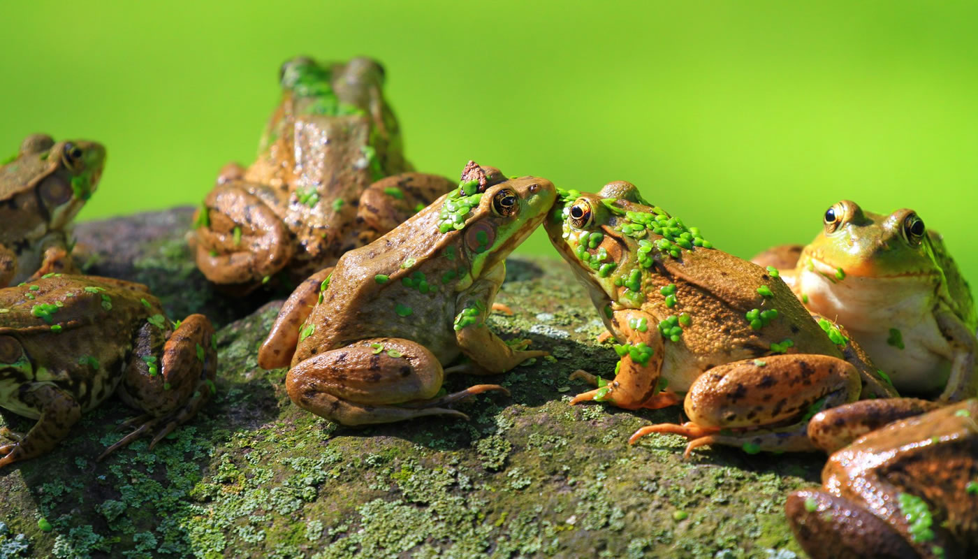 american bullfrogs on a rock at Crabtree Nature Center