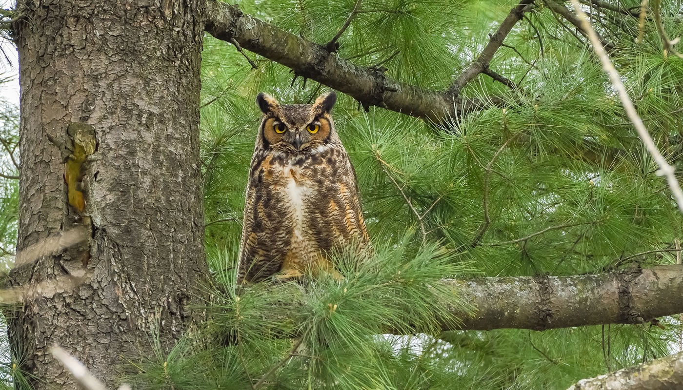 a great horned owl in a tree at Crabtree Nature Center