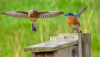 two bluebirds on a nesting box at horizon farm