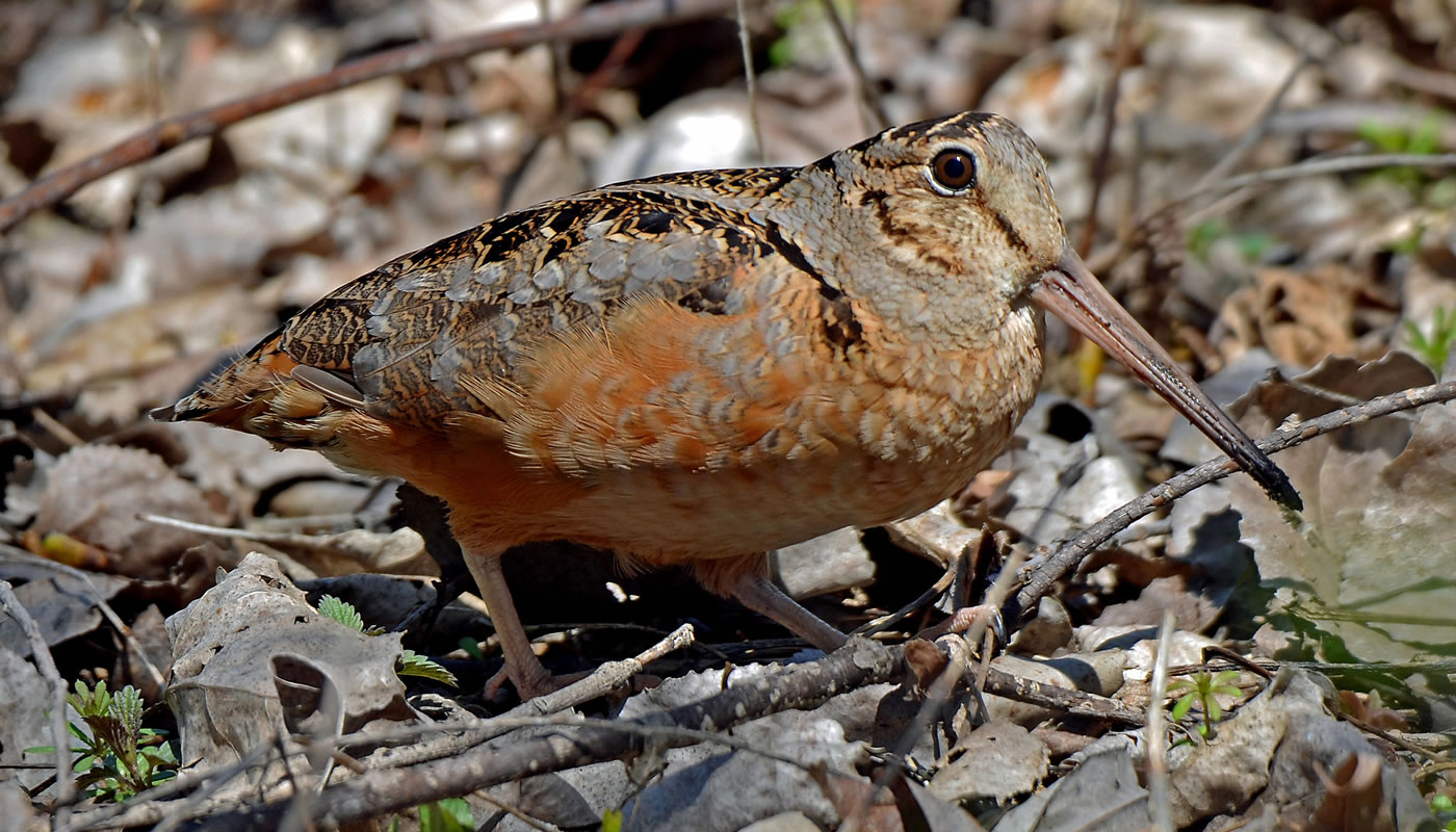 a woodcock on the forest floor