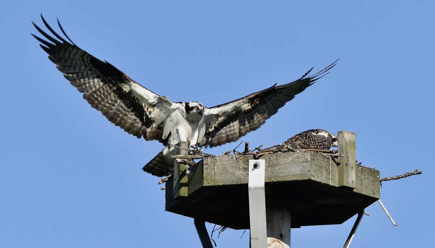 osprey landing on osprey platform at Baker's Lake