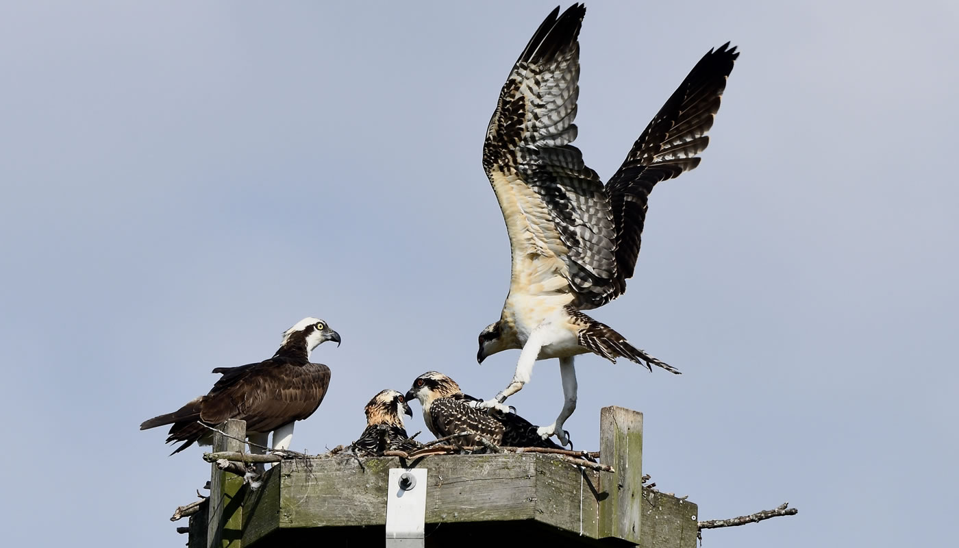 osprey with chicks on an osprey platform at Bakers Lake