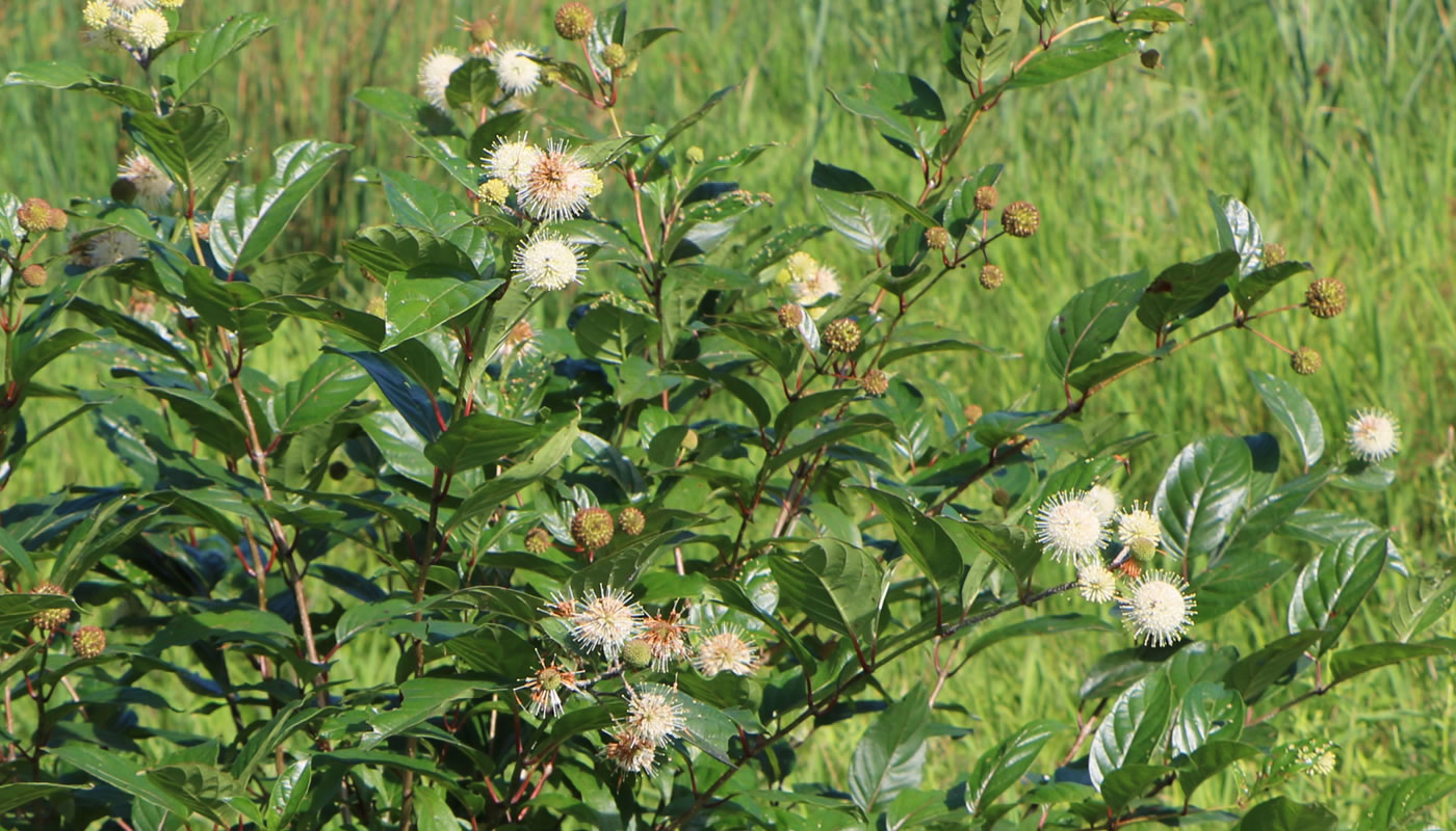 buttonbush at Eggers Grove