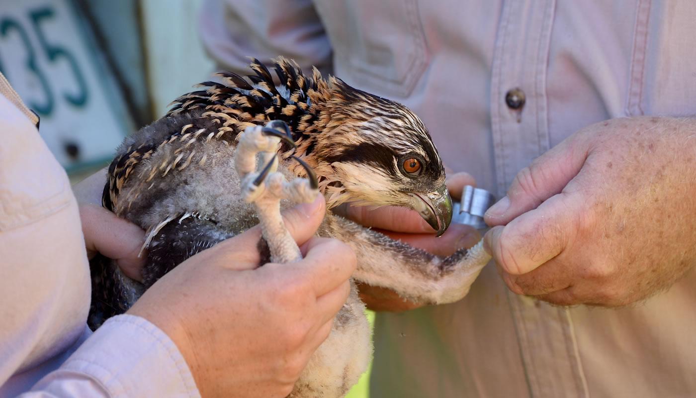staff banding an osprey chick