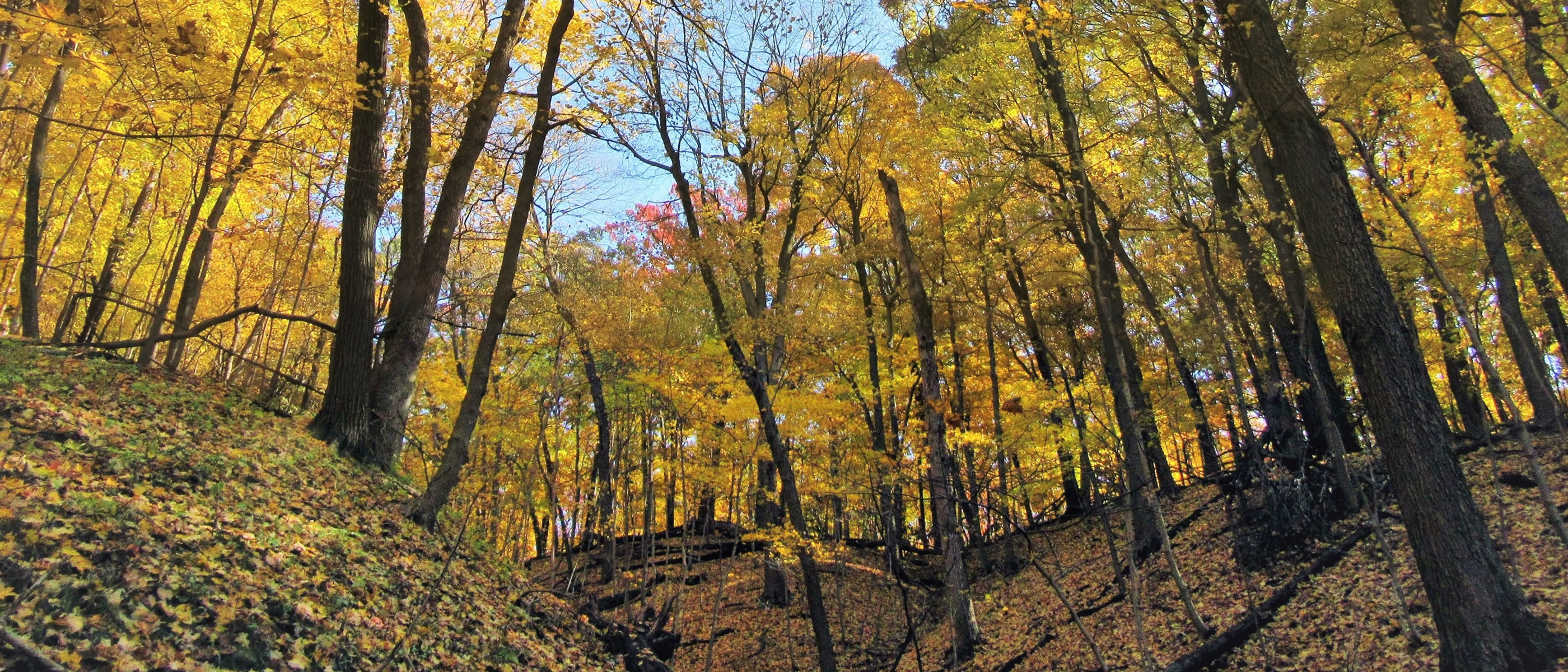 trees with leaves turning yellow and orange on the ravines at Paw Paw Woods Nature Preserve