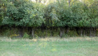 A browse line—a distinct boundary with normal plant growth above and little or no plant growth below—at the height a deer can reach while eating.