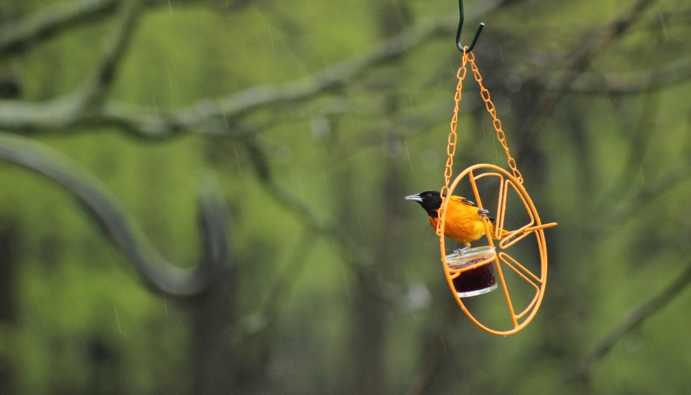 Male Baltimore oriole sitting on a bird feeder