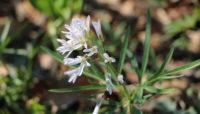 cutleaf toothwort wildflower