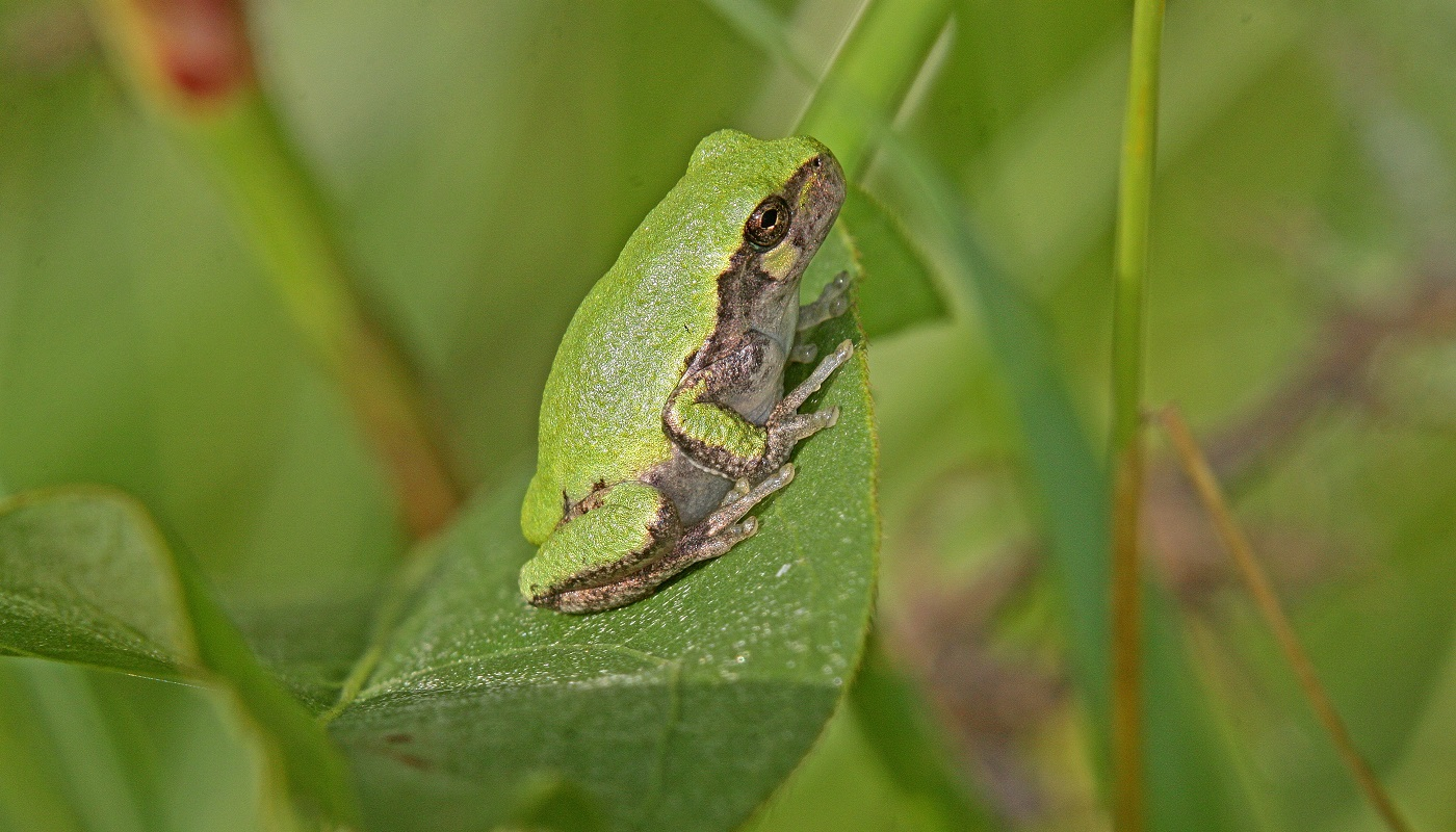 Eastern gray tree frog at McGinnis Slough