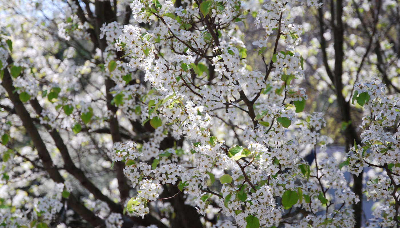 flowers on a branch of an invasive callery pear tree