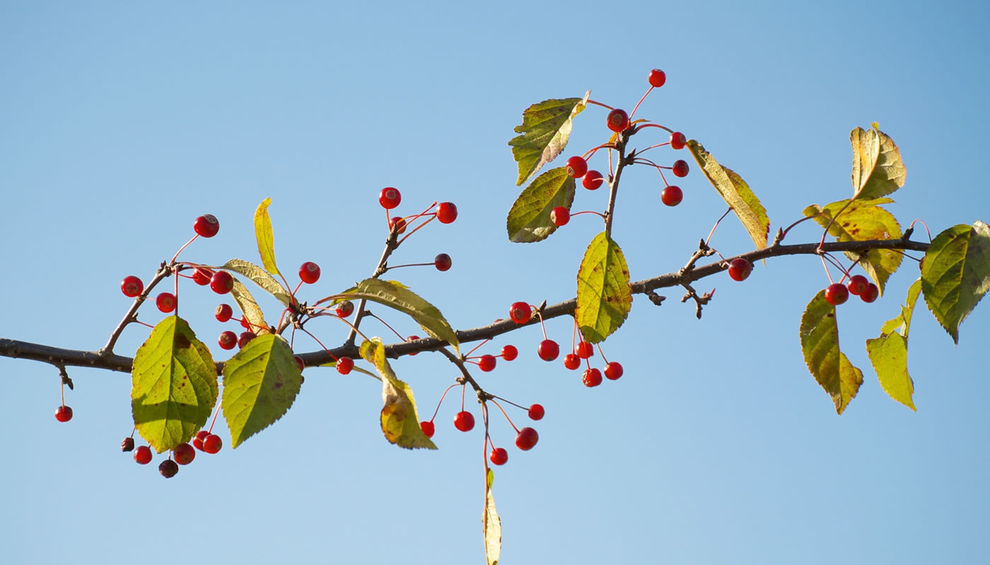 berries and leaves on a single stem of invasive Japanese crabapple