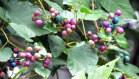 berries and leaves of the invasive porcelain berry vine